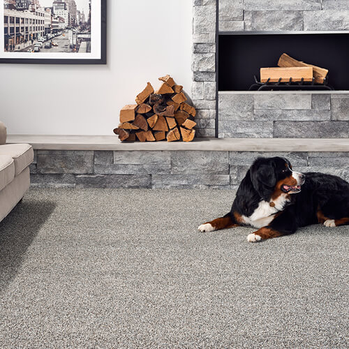 Dog on Carpet | PDJ Flooring
